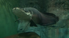 Big grey arapaima swimming above the camera, low angle shoot Stock Footage