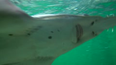 Sawfish swimming in aquarium in front of camera, close up shoot - stock footage