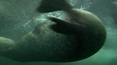 Seals swimming and play in Shanghai aquarium - stock footage