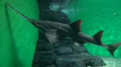 Sawfish swimming in aquarium in front of camera - stock footage