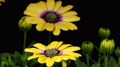 African Daisy Time-lapse - stock footage