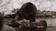 Ravens watch grizzly pick meat from the bones of a bison carcass in a river Stock Footage