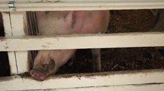 Pig on a farm, nose through barn fence, close up - stock footage