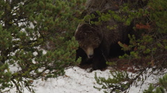 Grizzly bear uses tree trunk to scratch rump in snowy woods Stock Footage