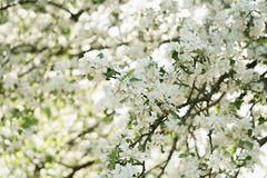 blooming white apple flowers in sunny day - stock photo