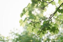 green maple tree leaves with insects in sun light - stock photo