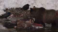 Ravens watch young grizzly tear wearily into bison carcass in river - stock footage