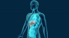 anatomy of human liver with digestive organs in x-ray view 3d - stock footage