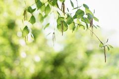 Birch leaves with catkins in sunny spring day Stock Photos