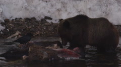 Slow motion grizzly bear wearily feeds on dead bison in river with raven Stock Footage