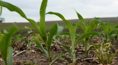 Corn growing on a farm just after planting season Stock Footage