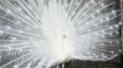 White peacock spreading its tail Stock Footage