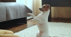 The teenager is in her room playing with a pet Jack Russell Terrier dog,close up Stock Footage
