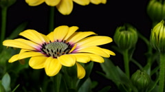 African Daisy Time-lapse Stock Footage