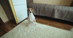 dog Jack Russell Terrier funny begging for a treat - stock footage