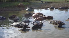 Buffaloes bathing Stock Footage