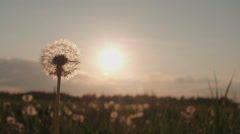 Blowing Dandelion Seeds,slow motion - stock footage