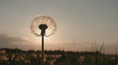 Blowing Dandelion Seeds,slow motion Stock Footage