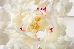 Photographed macro flower of Paeonia lactiflora Stock Photos