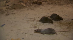 Black Rats In Destroyed House Stock Footage