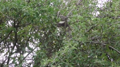 Wild Koala in Eucalyptus Tree Eating Leaves Filmed in 4K Stock Footage