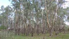 Eucalyptus Trees Forest Woodland in Australia Stock Footage