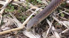 Poisonous Australian Copperhead Snake Foraging in the Wild in Australia Stock Footage