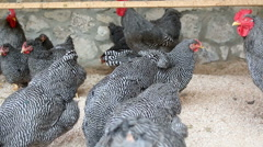 Guinea fowl random walk on the farm - stock footage