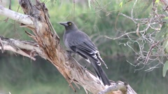 Grey Currawong Bird Foraging for Insects in Eucalyptus Tree in Australia Stock Footage