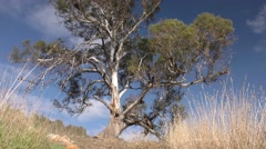 Lone Eucalyptus Tree in Australia and Blue Sky Stock Footage