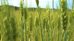 Wheat ears swaying in the wind. Closeup with soft focus. Stock Footage