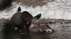 Slow motion large grizzly pauses between bights on dead bison in river Stock Footage