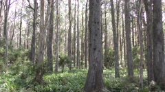 Pan and Tilt of Eucalyptus Trees in Australia Forest Stock Footage