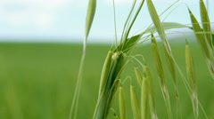 Oat ears swaying in the wind. Closeup with soft focus. - stock footage