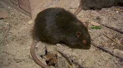 Two Black Rats - stock footage