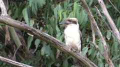 Laughing Kookaburra Kingfisher Bird Perched on Branch in Australia Stock Footage