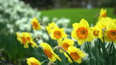 Daffodils, Keukenhof Gardens, Lisse, the Netherlands, 4K Stock Footage