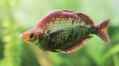 Red rainbowfish swims Stock Footage