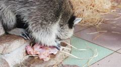 Raccoon eats meat Stock Footage