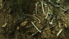 Dried animal bones in dirt Stock Footage