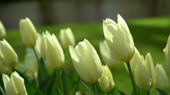 White Tulips at Keukenhof Gardens, Netherlands in 4K Stock Footage