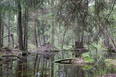 Natural swampy forest in springtime - stock photo
