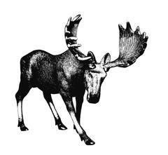 Big moose. Ink drawing Piirros