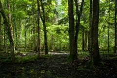 Wet deciduous stand of Bialowieza Forest - stock photo