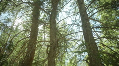 Native american prayer tree culturally modified 2 Stock Footage