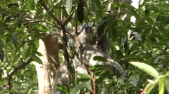 Australia Koala Resting in Tree in Daytime Stock Footage