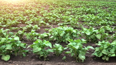 Dolly shot of young potato field in rows under sunset rays - stock footage