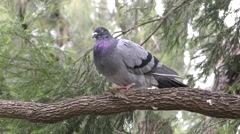 Rock Dove or Pigeon Beautiful Colors and Feathers in Forest Stock Footage