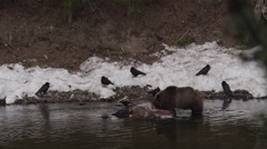 Slow motion ravens watch grizzly feed on bison in river in Yellowstone - stock footage