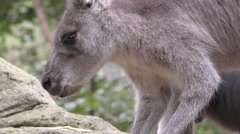Closeup of Grey Kangaroo Face in Forest While Feeding Stock Footage